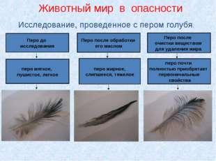 Исследование, проведенное с пером голубя. Перо до исследования Перо после обр