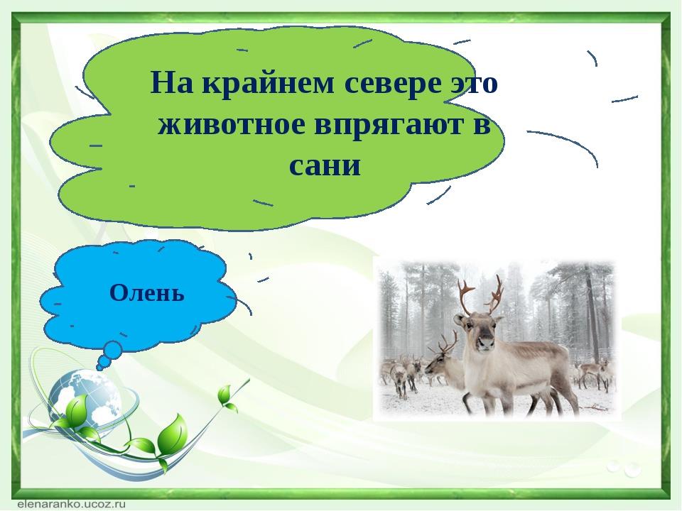 На крайнем севере это животное впрягают в сани Олень