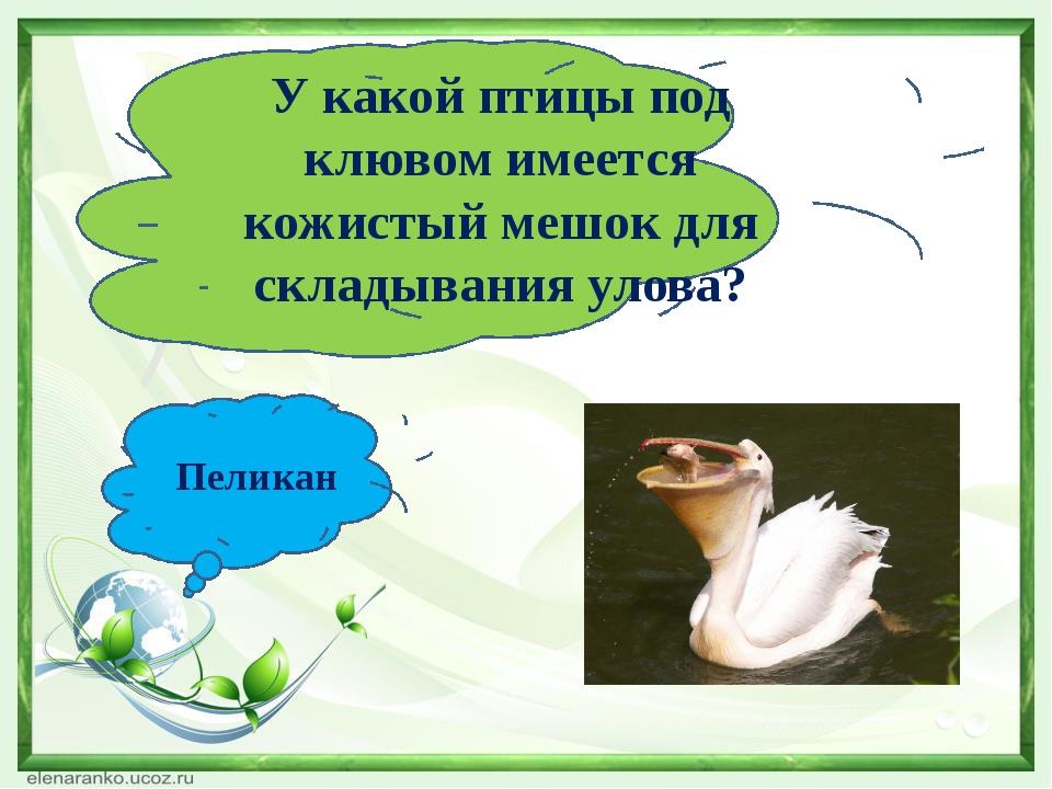 У какой птицы под клювом имеется кожистый мешок для складывания улова? Пеликан