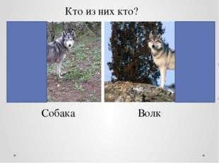 Кто из них кто? Собака Волк