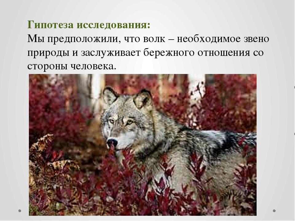Гипотеза исследования: Мы предположили, что волк – необходимое звено природы...