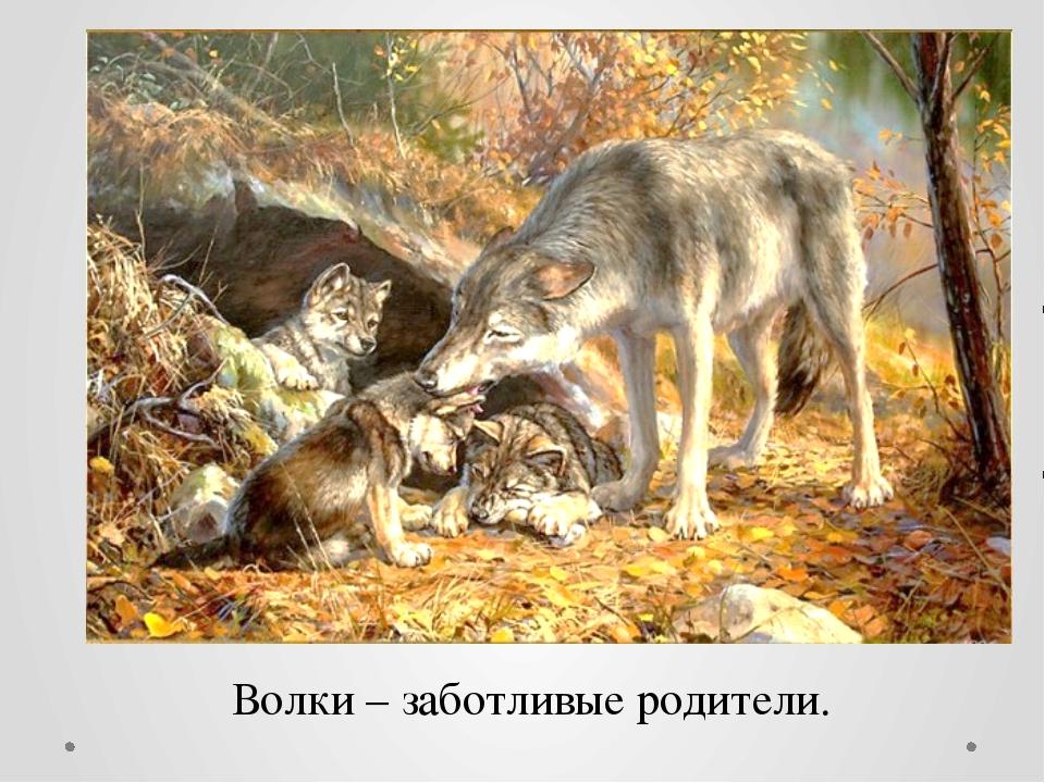 Волки – заботливые родители.