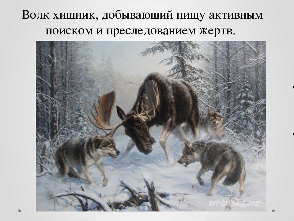 Волк хищник, добывающий пищу активным поиском и преследованием жертв.