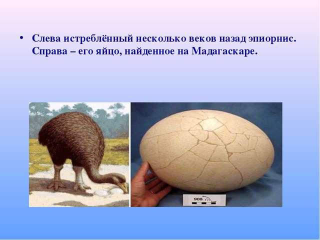 Слева истреблённый несколько веков назад эпиорнис. Справа – его яйцо, найденн...