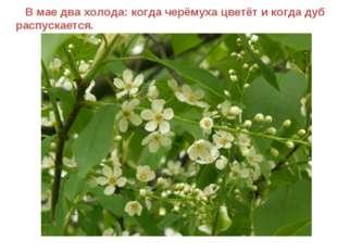 В мае два холода: когда черёмуха цветёт и когда дуб распускается.