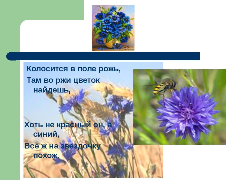 Колосится в поле рожь, Там во ржи цветок найдешь, Хоть не красный он, а сини...