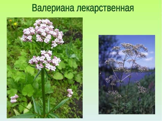 Кубановедение 2 класс лекарственные растения
