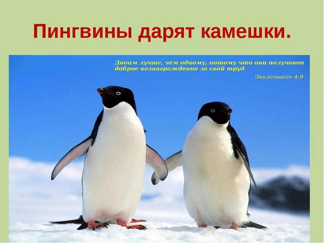 Пингвины дарят камешки.