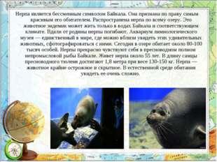 Нерпа является бессменным символом Байкала. Она признана по праву самым краси