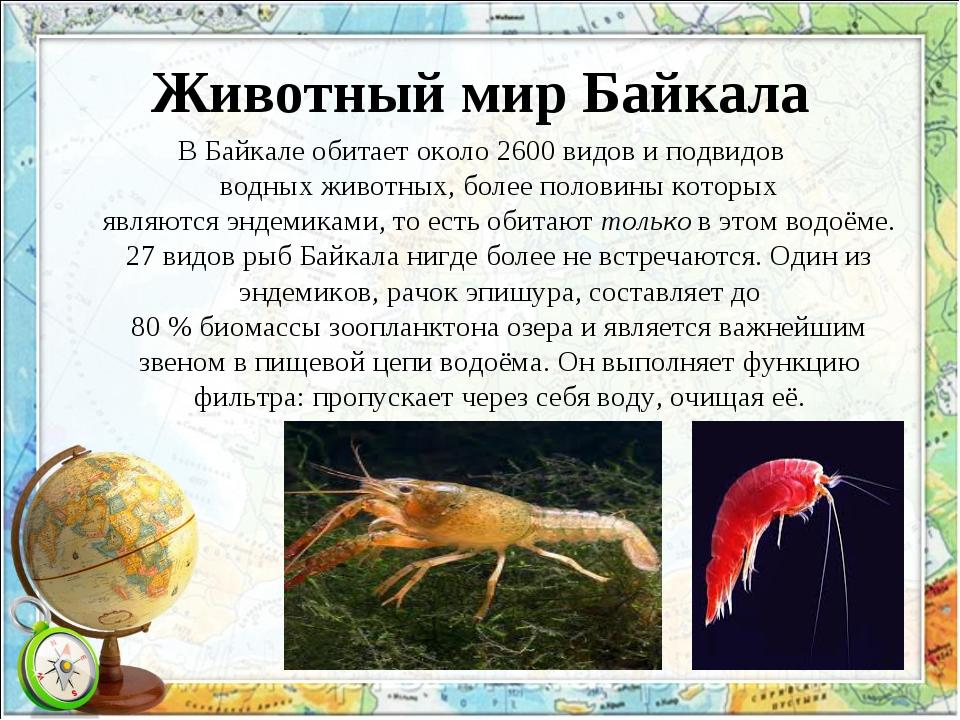 Животный мир Байкала В Байкале обитает около 2600видови подвидов водныхжив...