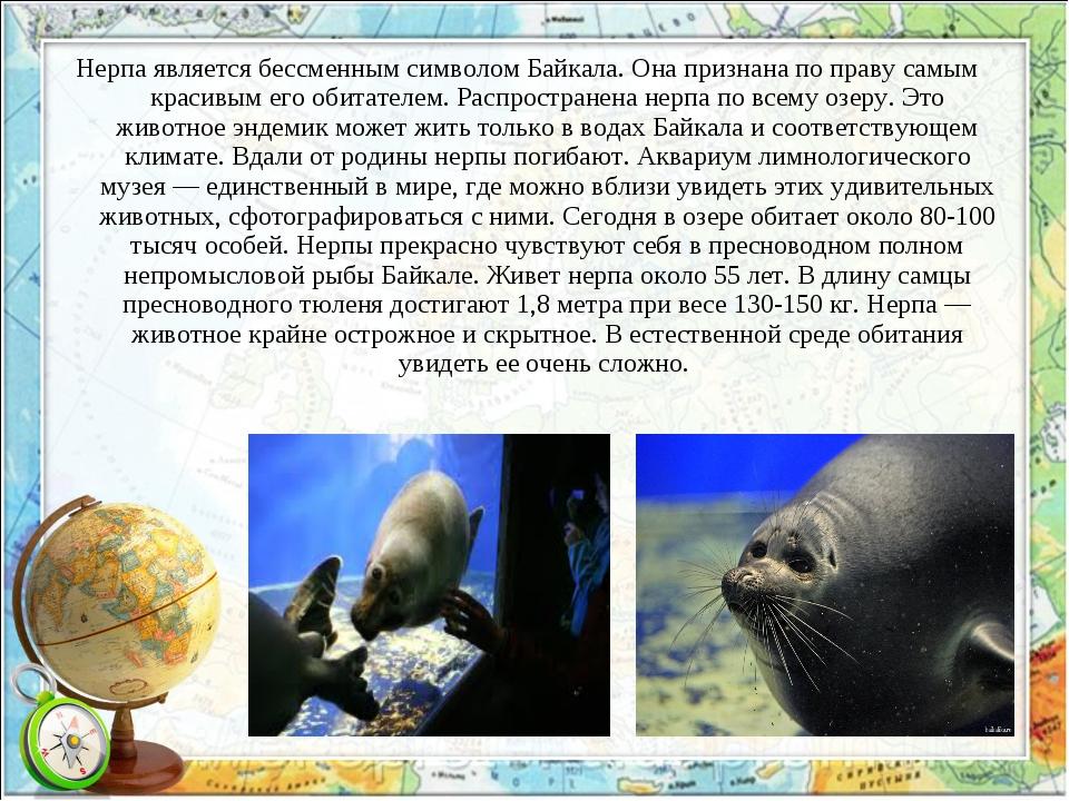 Нерпа является бессменным символом Байкала. Она признана по праву самым краси...