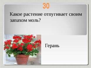 30 Какое растение отпугивает своим запахом моль? Герань