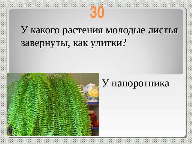 30 У какого растения молодые листья завернуты, как улитки? У папоротника