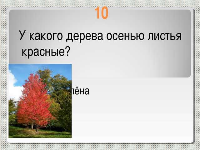 10 У какого дерева осенью листья красные? У клёна