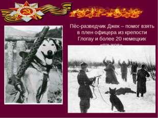 Пёс-разведчик Джек – помог взять в плен офицера из крепости Глогау и более 20