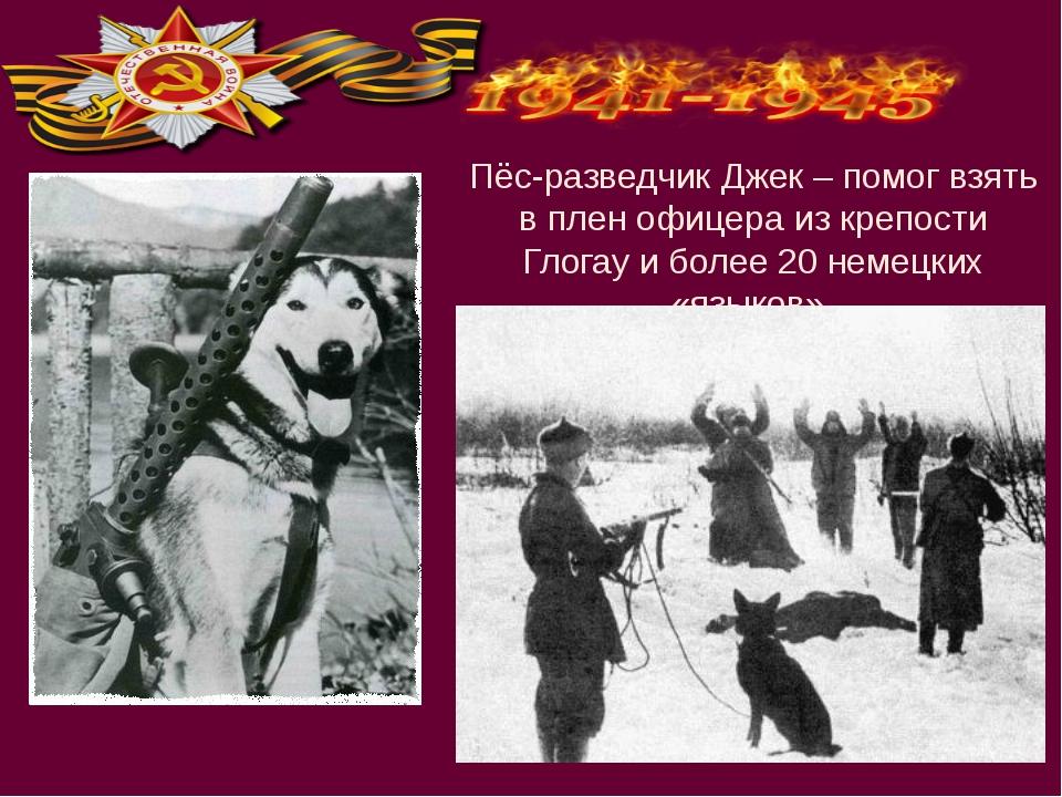 Пёс-разведчик Джек – помог взять в плен офицера из крепости Глогау и более 20...