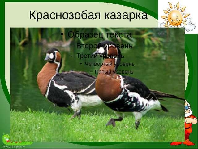 Краснозобая казарка FokinaLida.75@mail.ru