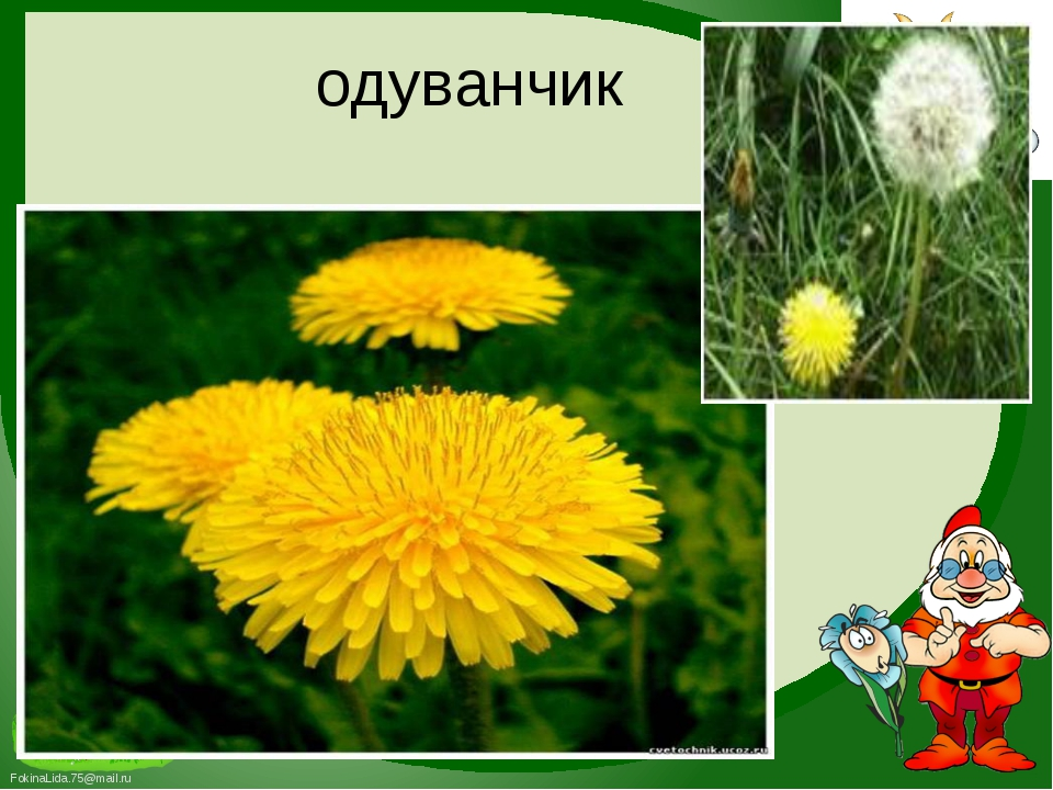 одуванчик FokinaLida.75@mail.ru