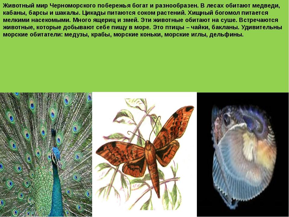 Животный мир Черноморского побережья богат и разнообразен. В лесах обитают м...