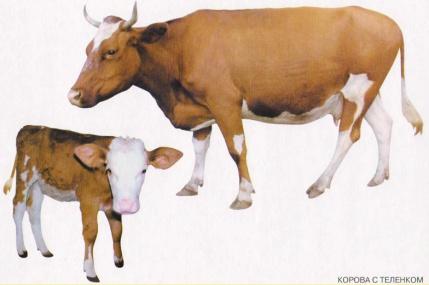 C:\Documents and Settings\Преподаватель\Рабочий стол\Барбарич\урок картинки\животные\корова.jpg