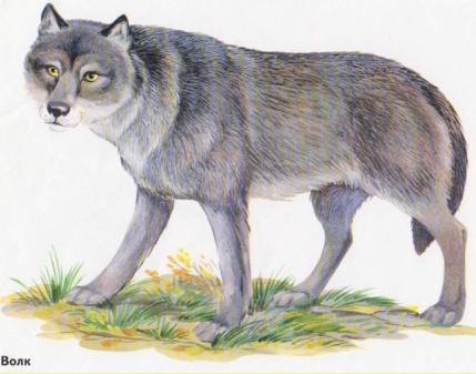 C:\Documents and Settings\Преподаватель\Рабочий стол\Барбарич\урок картинки\животные\волк.jpg