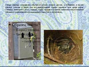 Гнезда синицы устраивают обычно в дуплах мелких дятлов, углублениях и щелях г
