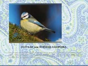 ГОЛУБАЯ, или ЗЕЛЁНАЯ ЛАЗОРЕВКА Одна из самых красивых наших синиц. Длина тела