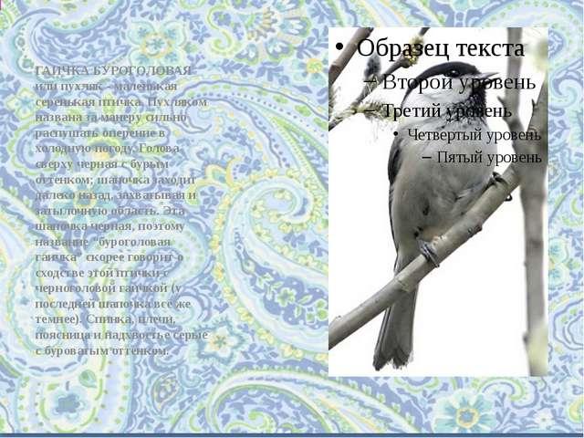 ГАИЧКА БУРОГОЛОВАЯ или пухляк - маленькая серенькая птичка. Пухляком названа...
