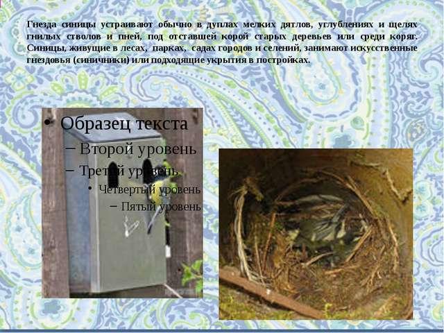 Гнезда синицы устраивают обычно в дуплах мелких дятлов, углублениях и щелях г...
