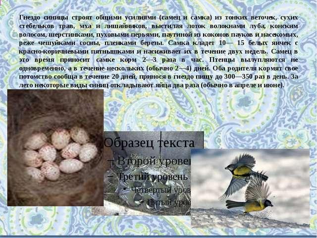 Гнездо синицы строят общими усилиями (самец и самка) из тонких веточек, сухих...