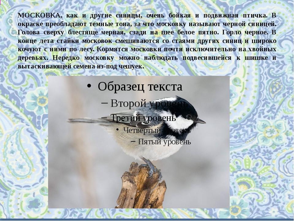 МОСКОВКА, как и другие синицы, очень бойкая и подвижная птичка. В окраске пре...