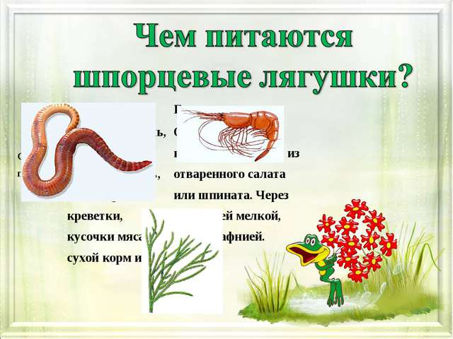 Взрослая особьГоловастик Список питанияДафнии, мотыль, трубочник, дождево...
