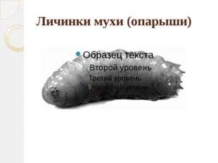 Личинки мухи (опарыши)