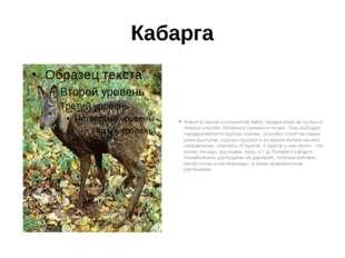 Кабарга Живет в горной и холмистой тайге, предпочитая ее густые и темные учас