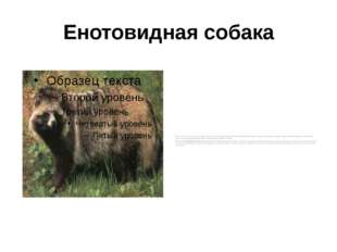 Енотовидная собака Обычно селится в старых норах барсуков и лисиц, часто испо