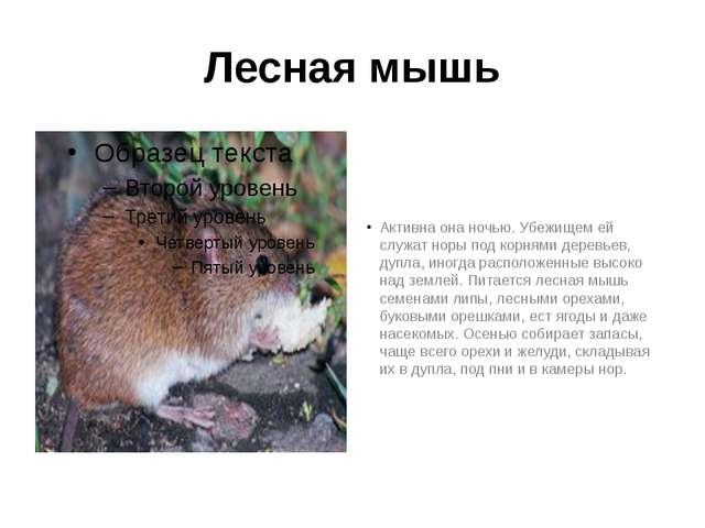 Лесная мышь Активна она ночью. Убежищем ей служат норы под корнями деревьев,...