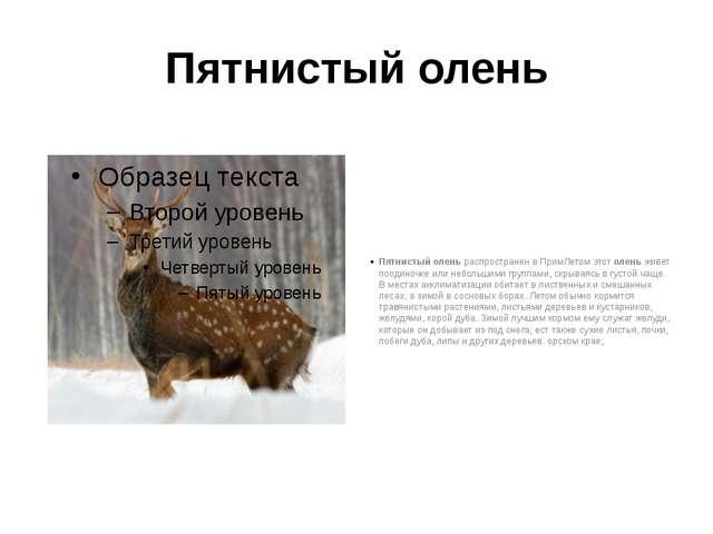Пятнистый олень Пятнистый олень распространен в ПримЛетом этот олень живет по...
