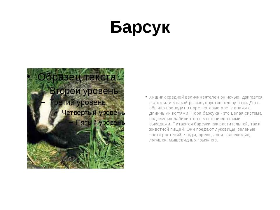 Барсук Хищник средней величинеятелен он ночью, двигается шагом или мелкой рыс...