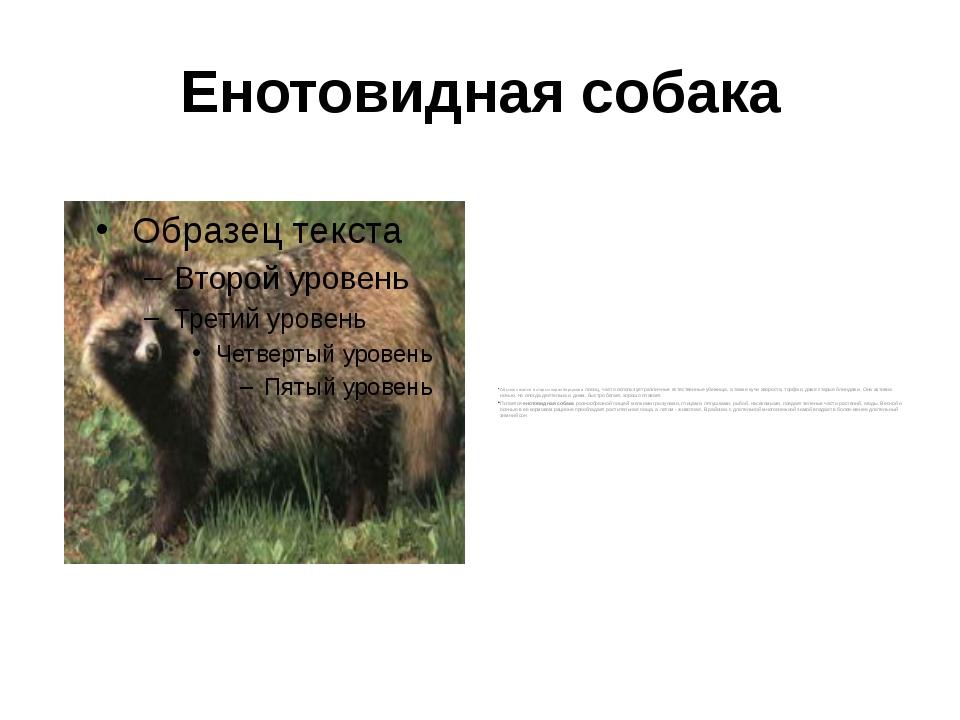 Енотовидная собака Обычно селится в старых норах барсуков и лисиц, часто испо...