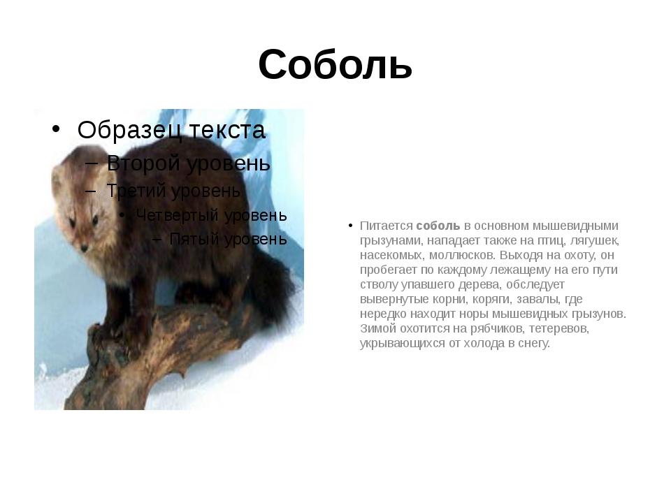 Соболь Питается соболь в основном мышевидными грызунами, нападает также на пт...