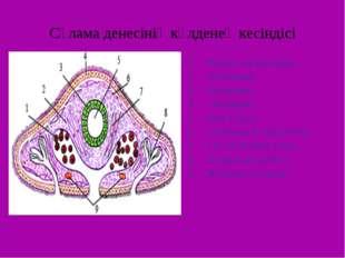 Сұлама денесінің көлденең кесіндісі Жыныс жасушалары, Мезодерма Энтодерма Экт