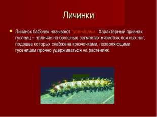 Личинки Личинок бабочек называют гусеницами. Характерный признак гусениц – на