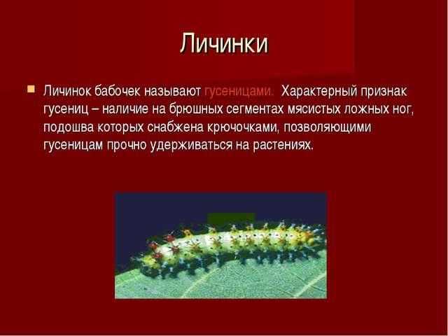 Личинки Личинок бабочек называют гусеницами. Характерный признак гусениц – на...
