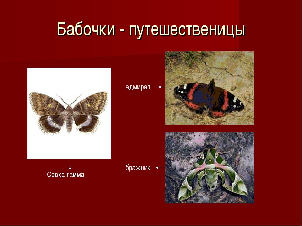 Бабочки - путешественицы Совка-гамма адмирал бражник