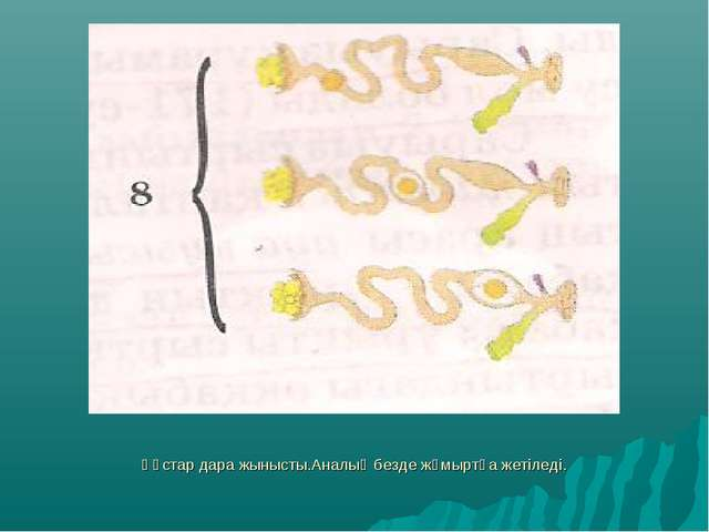 Құстар дара жынысты.Аналық безде жұмыртқа жетіледі.