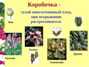 Коробочка - сухой многосемянный плод, при вскрывании растрескивается. Тюльпан