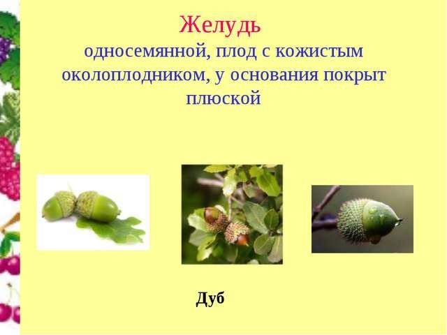 Желудь односемянной, плод с кожистым околоплодником, у основания покрыт плюс...