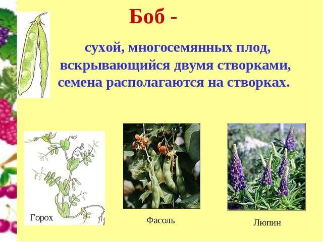 Боб - сухой, многосемянных плод, вскрывающийся двумя створками, семена распол...