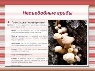 Несъедобные грибы Говорушка перевернутая Шляпка 5-8 см в диаметре, широковоро