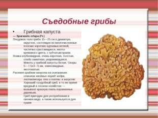 Съедобные грибы Грибная капуста — Sparassis crispa (Fr.) Плодовое тело гриба